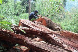 1 giám đốc bị bắt vì hạ rừng phòng hộ