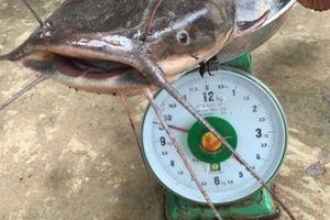Cần thủ kể chuyện vật lộn tóm cá trê 'khủng' dài 1m, nặng gần 10kg