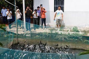 Nông dân Cần Thơ huấn luyện cho cá lóc bay qua vòng lửa