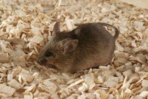 Người đầu tiên trên thế giới nhiễm viêm gan E từ chuột