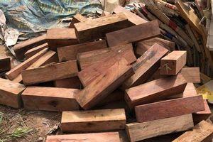 Giám định gỗ lậu ngụy trang bằng giấy phế liệu xác định hơn 43m3 gỗ Cẩm lai và gỗ Giáng hương