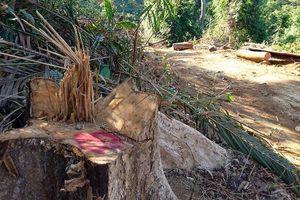 Quảng Nam: Bắt Giám đốc doanh nghiệp phá rừng tự nhiên