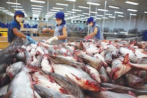 Giá cá tra hiện ở mức cao, người nuôi có lãi