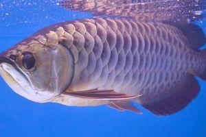 Cá rồng châu Á và chuyện ly kỳ 'báo trước hiểm họa' khiến giới siêu giàu chi tiền tỷ săn lùng