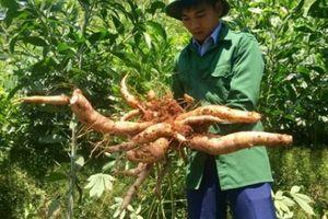 Thử trồng sắn trong rừng keo, bất ngờ vừa nhàn vừa thu trăm triệu