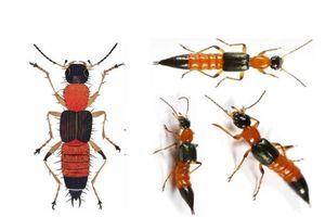 Mùa kiến ba khoang, làm gì để phòng tránh côn trùng này?
