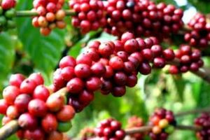 Chuyện nghịch lý cà phê Việt: Mải mê xuất khẩu, bỏ lơ 'sân nhà'?