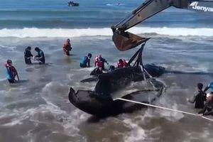 Cứu hộ cá voi lưng gù mắc cạn trở về biển