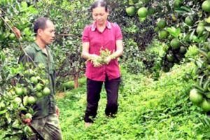 Chuyện lạ ở Tuyên Quang: Đem cỏ dại trồng kín vườn cam