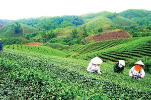 Quên Thái Nguyên đi, đây mới là đồi chè đẹp nhất Việt Nam!
