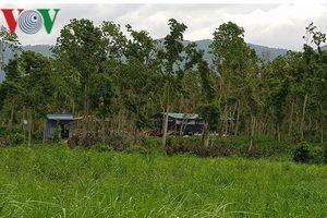 Hàng trăm héc ta rừng căm xe ở Khánh Hòa bị giao trái phép cho tư nhân