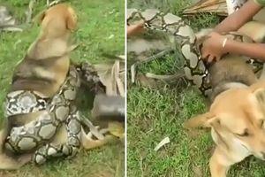 Clip: Nghẹt thở xem 3 bé trai hiệp lực đánh trăn khủng, cứu chó nhà
