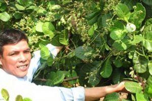 Trồng rau xen trong vườn tiêu giúp qua cơn giá tiêu 'liêu xiêu'