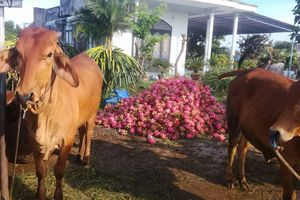 Người trồng thanh long tại Bình Thuận lao đao vì giá thấp kỷ lục
