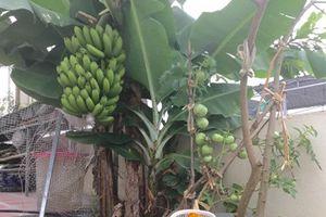 Độc lạ trồng chuối sai trĩu trên sân thượng