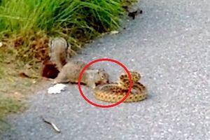 Clip: Sóc điên cuồng tử chiến với rắn và cái kết bất ngờ