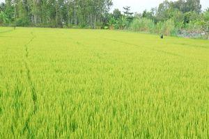 Chăm sóc cây lúa giai đoạn đòng trỗ