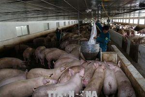 Thận trọng tăng đàn lợn trước 'cơn bão' tăng giá