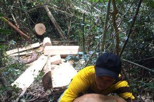 Vụ gỗ lậu ở Mang Yang: Hơn 50 cây rừng bị đốn hạ