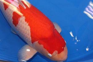 Clip: Chiêm ngưỡng con cá Koi đắt nhất thế giới