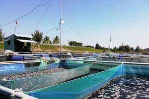 Hội An (Quảng Nam): Cá nuôi lồng bè chết trắng chưa rõ nguyên nhân