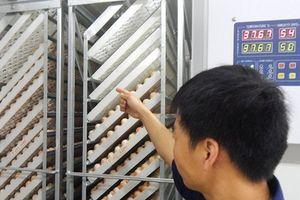 Ấp gà giống bằng công nghệ hiện đại, có truy xuất nguồn gốc
