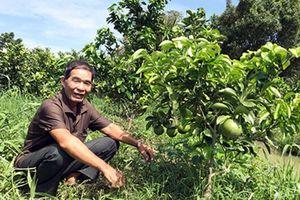 'Thay áo' cho vườn cây giúp tăng sinh kế cho nông dân Vị Thủy