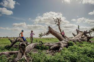 Cây thiêng trăm năm của Senegal chết dần trong thời hiện đại
