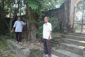 Lo cây sưa 100 tỷ chết, mất gỗ: Lời trấn an