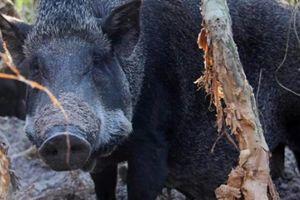 Đã mắt với đàn lợn rừng của lão ngư 'gàn dở' trên vùng đất biển