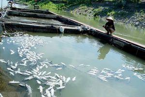 Quảng Nam: Gần 50 lồng bè nuôi cá bị chết trắng chưa rõ nguyên nhân