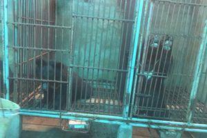 Dấu hỏi về sự tắc trách trong xử lý vụ nuôi nhốt gấu bất hợp pháp tại Nghệ An