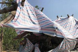 Xe chở cây 'khủng' từ Quảng Ngãi ra đến Quảng Bình mới 'sa lưới'