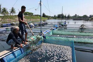 Cá nuôi lồng bè ở Hội An chết trắng chưa rõ nguyên nhân