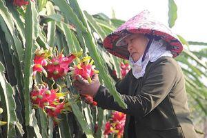 Thương lái Trung Quốc dừng mua, giá thanh long Việt Nam giảm mạnh