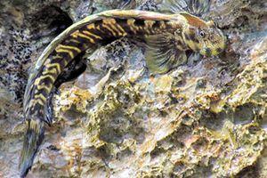 Loài cá 'dị' sống trên cạn, có thể nhảy xa dù không chân