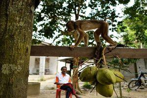 Khỉ hái dừa, ném chết bà lão 72 tuổi