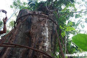 Cận cảnh cây sưa 100 tỷ đồng chuẩn bị được bán đấu giá ở Hà Nội