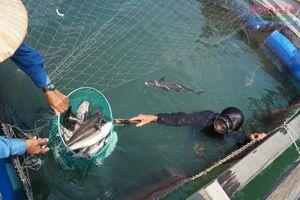 Quảng Ngãi: Cá bớp nuôi lồng bè chết hàng loạt do hút cát xả bùn?