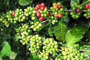 Cà phê Việt cần làm gì để đạt chuẩn quốc tế?