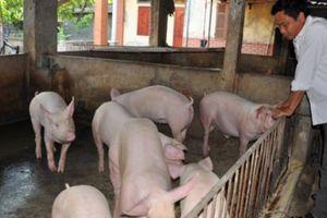 Giá heo hơi hôm nay 8/10: Nguồn cung cuối năm sẽ không thiếu, dự báo giá lợn hơi ổn định