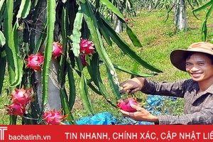 Ngắm trại thanh long ruột đỏ 'made in Hà Tĩnh' thu nửa tỷ đồng/năm