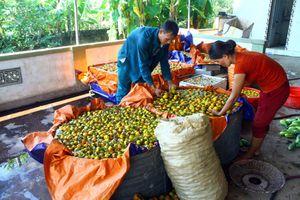 Nghệ An: Nông dân Nam Đàn tăng thu nhập nhờ được mùa hồng