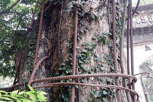 Hà Nội đồng ý cho dân bán cây sưa 100 tỷ đồng