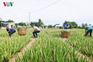 Nông dân Ninh Thuận khấm khá nhờ cây nha đam