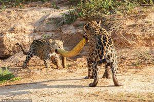 Mẹ con báo đốm tranh giành xác trăn anaconda