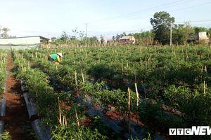 Malaysia tạm dừng cấp phép nhập khẩu ớt Việt Nam