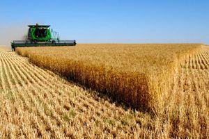 Cấm nhập lúa mì vì cỏ dại: Từ DN đến bà bán bánh mì bị ảnh hưởng