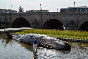 Cá voi mắc cạn trên sông và sự thực nhiều người choáng váng