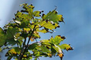 Hàng cây phong lá đỏ vẫn xanh giữa mùa thu Hà Nội